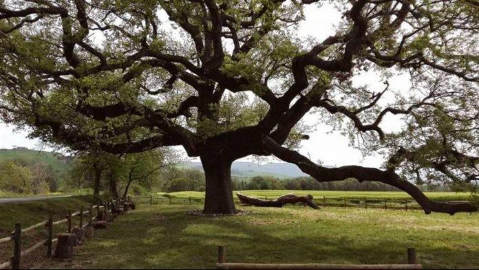 quercia delle checche natura che si muove natura viva