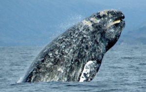 Un esemplare di balena grigia. Crediti: Merrill Gosho/Noaa